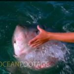 Man caresses white shark