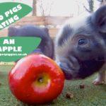 Minischweinchen Babies essen einen Apfel