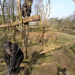 Catch the Drone: Chimpancé trae zumbido del aire