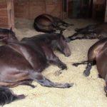 A felicidade dos cavalos: Farting e Ronco