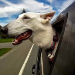 Dogs in Cars: Canine, looking out of moving car