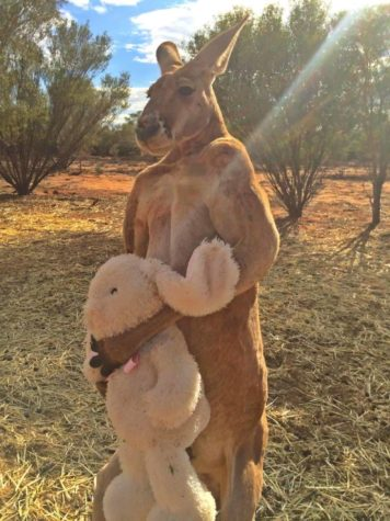 The kangaroo with his teddy