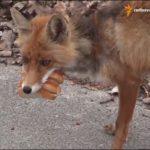 Fuchs in Tschernobyl macht sich ein Sandwich