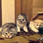 Kediler, esneme ile enfekte edilebilir