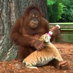 Orang Utan cares about tiger cubs