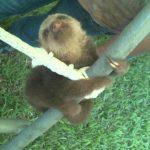 Baby Faultier im Jungle Gym