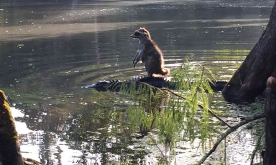 Neulich in Florida: Raccoon surfer på krokodille