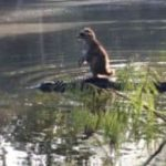 The other day in Florida: Raccoon surfs on crocodile