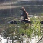 Den anden dag i Florida: Waschbär surft auf Krokodil