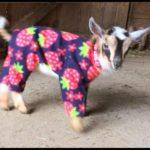 Pijamalı Ziegenbabies
