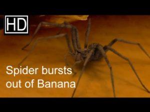 Spinne schlüpft aus einer Banane