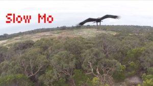 Adler pflückt sich Drohne in der Luft