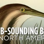 Blöd klingende nordamerikanische Vögel