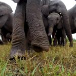 Elephants find a GoPro
