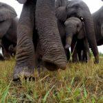 Elefanten finden eine GoPro