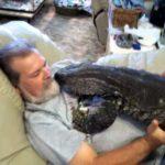 Wygodne przytulać z jaszczurka monitora i oglądać telewizję
