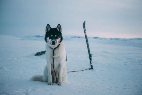 Ich habe meinen Job gekündigt, przeżyć przygodÄ™ z Huskies