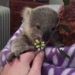 Koala van de baby-aufpäppeln