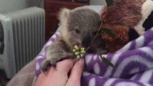 Koala-Baby aufpäppeln