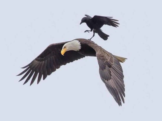 Crow riding on the back of an eagle