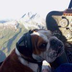 Dette Bulldog kan moonwalk!