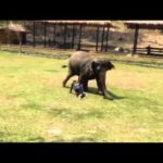 Elephant defends his mahouts from attack
