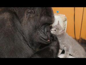Gorilla Dame slår kattunger