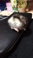 Hamster has a very Dramatic Nap Attack