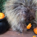 Porcupine delights in a pumpkin