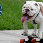 Bulldog obtient le record du monde de patinage à travers les jambes