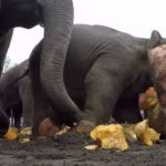 Elephants crack giant pumpkins