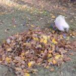 Pieni sika pelaa heinää