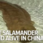 200 Jahre alter Riesensalamander