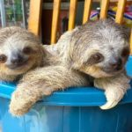Baby sloths learn climbing