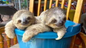 Baby sloths learn climbing