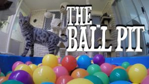 Gato en la piscina de bolas