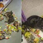 Katt på djuraffären, i kattmynta