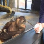 Orangutan pleased about a magic trick