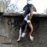 Pitbull fa Parkour Incredibile