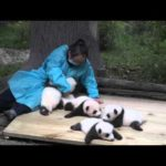 Cuddling Panda bebisar