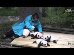 Los bebés panda de abrazo