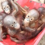 The orangutan nursery