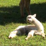 Junges Alpaca kämpft gegen die Müdigkeit