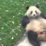 Panda schlägt Purzelbäume