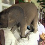 What's on, if you let a baby elephant to the house