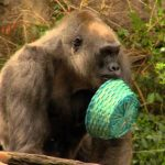 Gorillas on Easter egg hunt