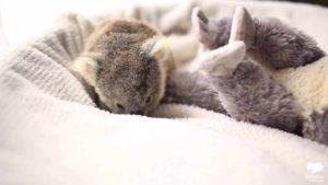 Koala Joey joga em seu berço durante a primeira sessão de fotos