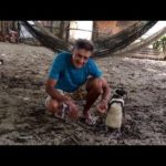 Penguin floats each year 8000 km, to visit the man, who has saved his life