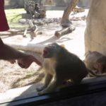 How react baboons on magic tricks