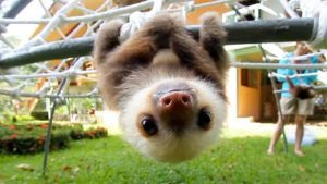 How actually sounds a sloth baby?